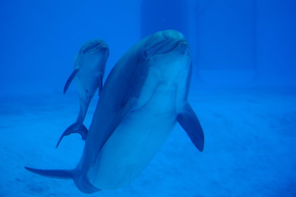 Beauty a donné naissance à un delphineau, répondant au doux nom de Baleos