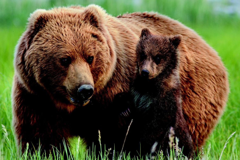 Grizzly erw87sjvhoc9f4n3