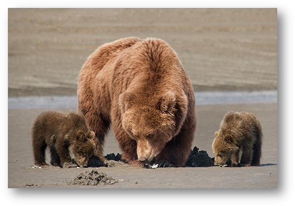 Grizzly image002